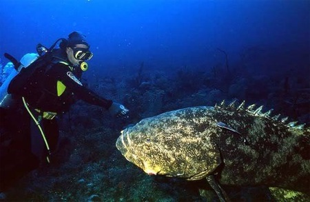 080821-giant-grouper-022