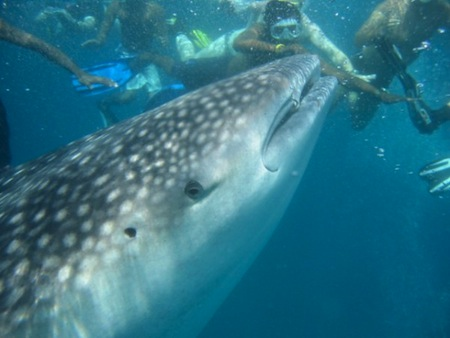 maldives-underwater-photos-whale-shark-side-600x450