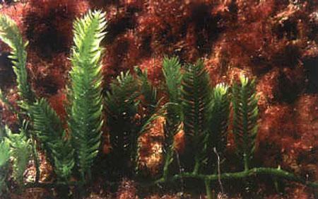 caulerpa taxifolia1
