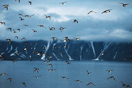 alle-alle-mergulo-atlantico-ave-orden-charadriiformes-familia-alcidae-3