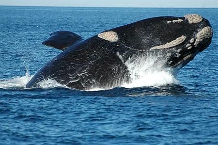 avistaje ballenas francas. Grupo Navega