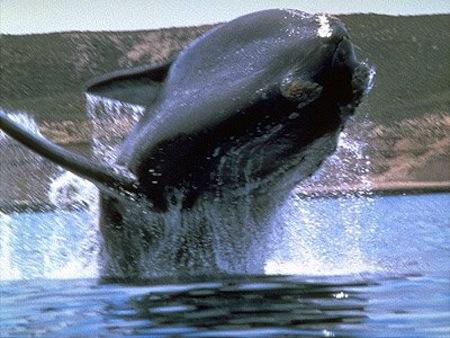 ballena-franca