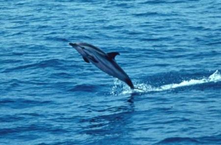delfin-listado-stenella-coeruleoalba_-juan-antonio-raga