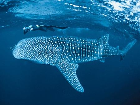nadar-con-tiburones-ballena-en-nigaloo-reef