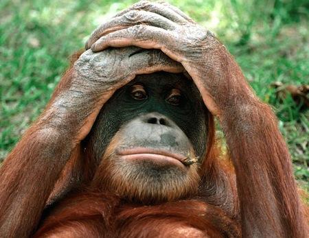 o_orangutan-teme
