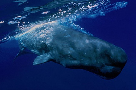 sperm-whale-in-the-azores-isl1