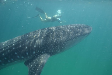 tiburon-ballena-2-09-04-051