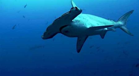 tiburon-martillo-sharkwater