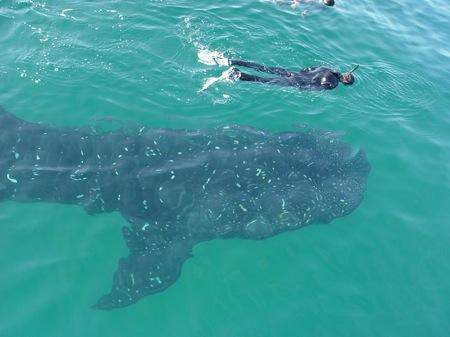 tiburon_ballena_2jpg